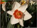 Quasar - Single Daffodil