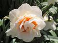 Irish Gift - Double Daffodil