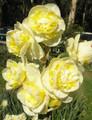 Jersey Roundabout - Double Daffodil