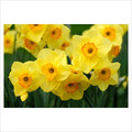 Highfield Beauty - Multi-Headed Daffodil