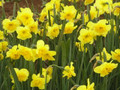 Curly Lace - Happy Daffodil