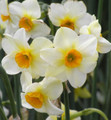 Beautiful Eyes - Happy Daffodil