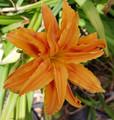 Deb's Orange - Double Dayliliy