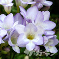 Mauve - Single Freesias