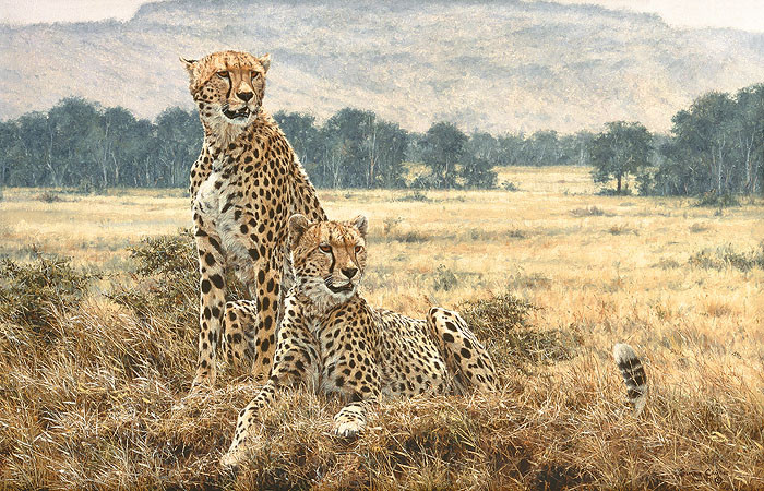 Cheetah Pair, by Simon Combes LIMITED EDITION CANVAS
