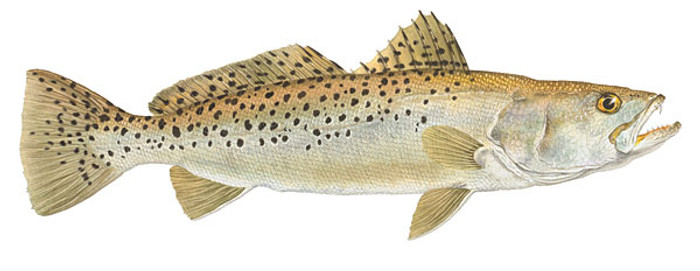 Spotted Seatrout, by Flick Ford OPEN EDITION PRINT