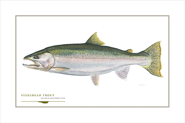 Steelhead Trout, by Flick Ford OPEN EDITION PRINT