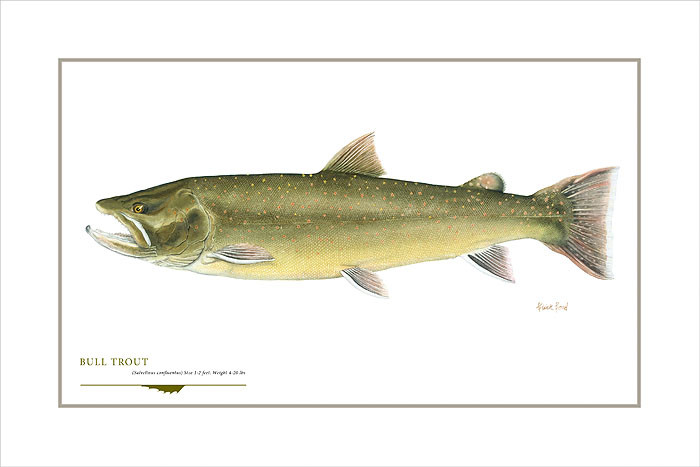 Bull Trout, by Flick Ford OPEN EDITION PRINT