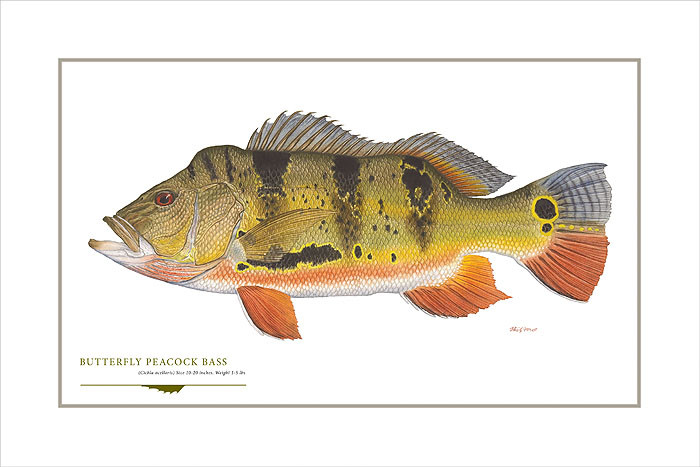 Butterfly Peacock Bass, by Flick Ford OPEN EDITION PRINT