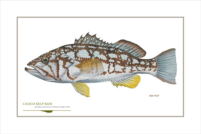 Calico Kelp Bass, by Flick Ford OPEN EDITION PRINT