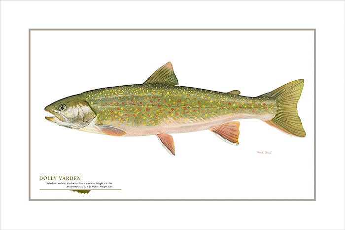 Dolly Varden Trout, by Flick Ford OPEN EDITION PRINT