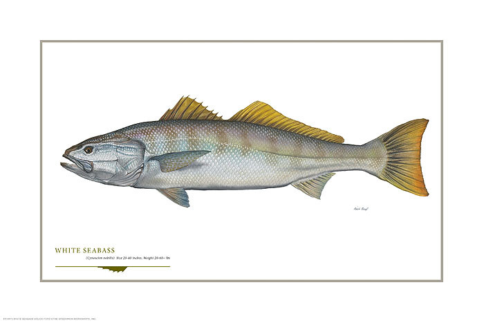 White Seabass, by Flick Ford OPEN EDITION PRINT
