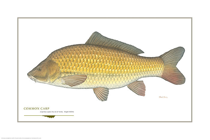 Common Carp, by Flick Ford OPEN EDITION PRINT
