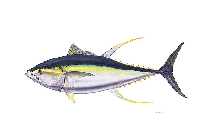 Trophy Yellowfin Tuna, by Flick Ford OPEN EDITION PRINT