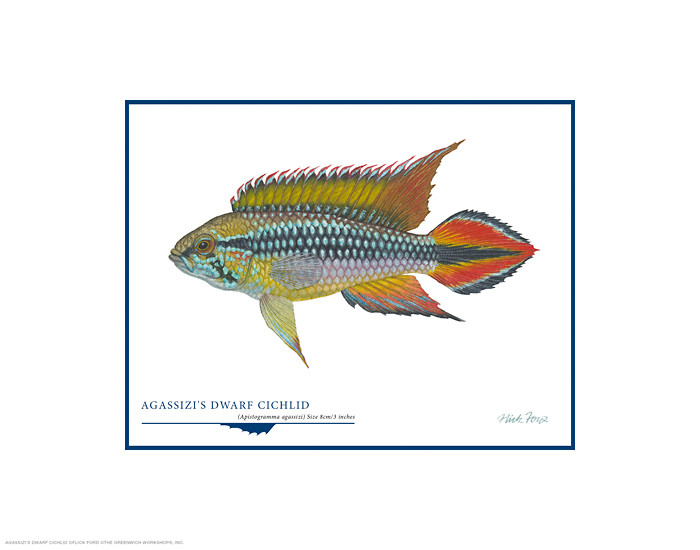 Agassizi´s Dwarf Cichlid, by Flick Ford OPEN EDITION PRINT