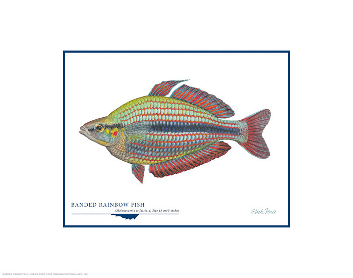 Banded Rainbow Fish, by Flick Ford OPEN EDITION PRINT