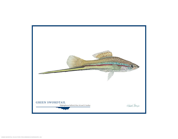 Green Swordtail, by Flick Ford OPEN EDITION PRINT