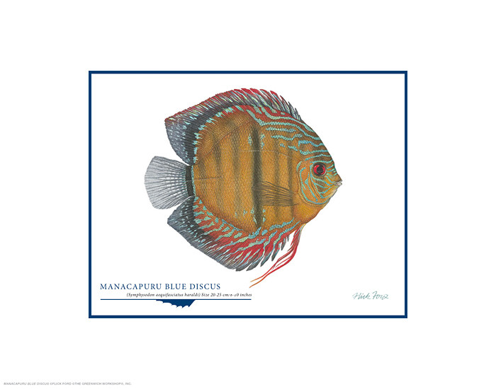 Manacapuru Blue Discus, by Flick Ford OPEN EDITION PRINT