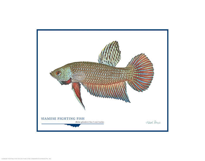 Siamese Fighting Fish, by Flick Ford OPEN EDITION PRINT
