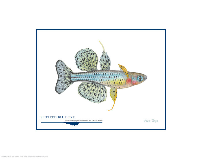 Spotted Blue-eye, by Flick Ford OPEN EDITION PRINT