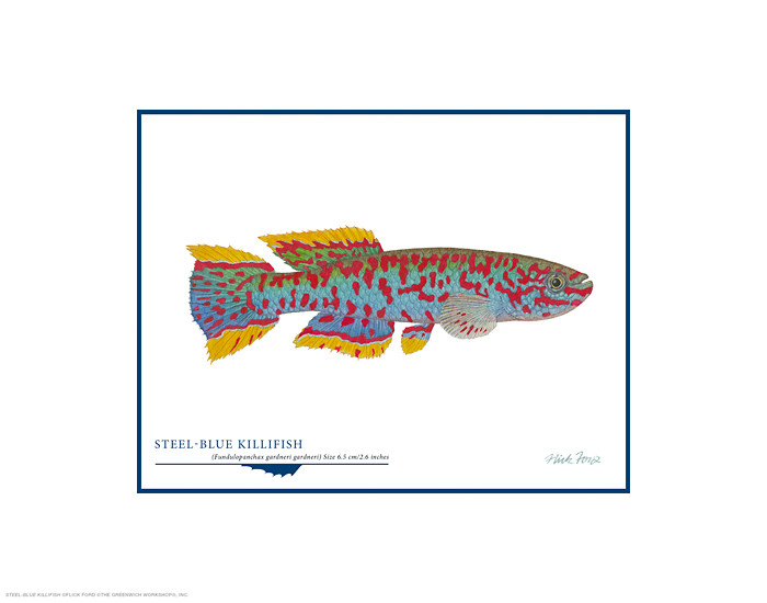 Steel-blue Killifish, by Flick Ford OPEN EDITION PRINT