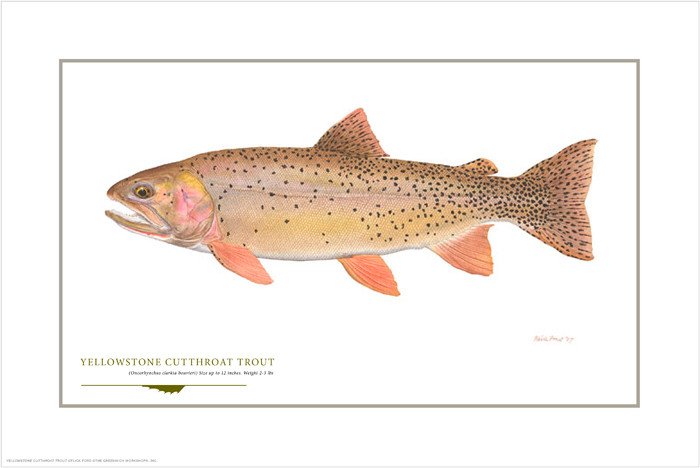 Yellowstone Cutthroat, by Flick Ford OPEN EDITION PRINT