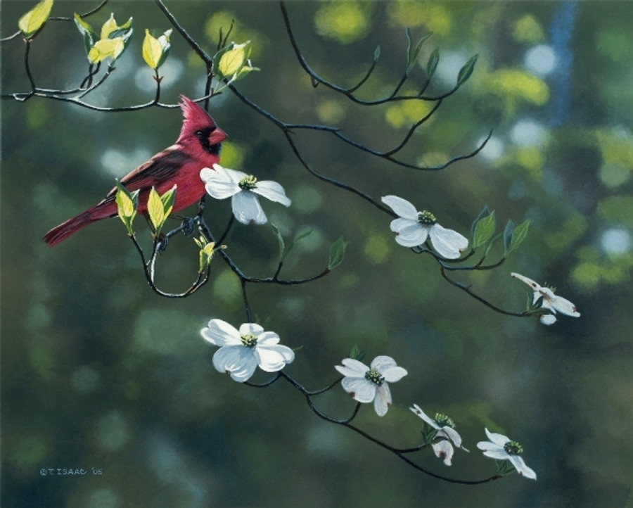 Cardinal on Dogwood by Terry Isaac Framed