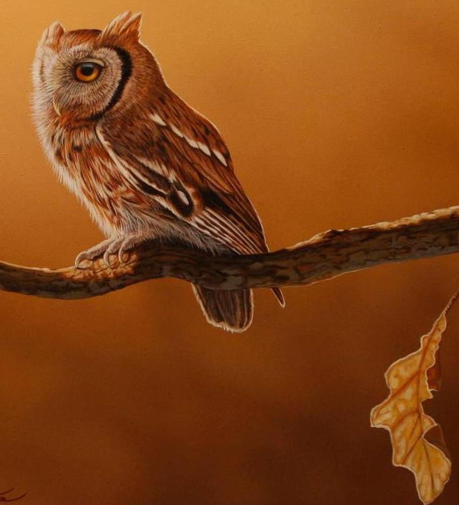 Screech Owl Closeup