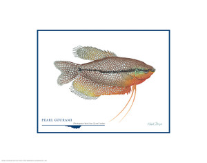 Pearl Gourami, by Flick Ford OPEN EDITION PRINT
