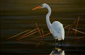 Richard Clifton, Great Egret - Searching