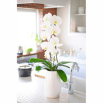 Single White Phalaenopsis