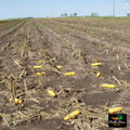Avery Field Corn