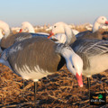 Collapsible Full Body Blue Goose Decoys