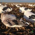 White Rock Juvy Snow Goose Decoys