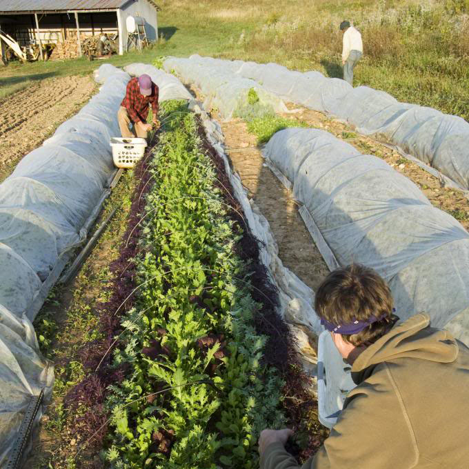 harvestingsaladgreens-cropped.jpg