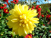"Dahlia tubers 1 lb grown at Seven Springs Farm  ""ON SALE! LIMITED QTY LEFT"""