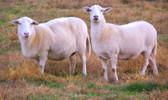 Fertrell Sheep NB 50 lb