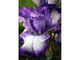 Pretty Purple Iris