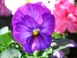 Happy Pansies