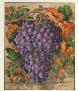 Black Grape Still Life Fruit Kitchen Wall Decor Art Print Poster (16x20)