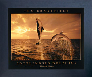 Bottlenosed Dolphins Freedom Dance At Ocean Sunset Wall Decor Espresso Framed Art Print Picture (20x24)