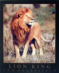 African Lion King Animal Wildlife Living Room Wall Decor Art Print Poster (16x20)