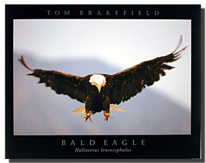 Bald Eagle Art Prints