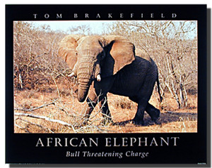African Elephant Posters