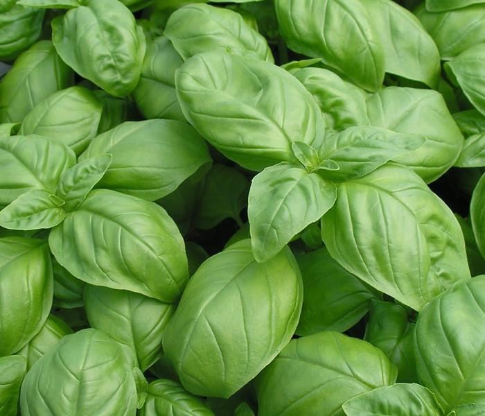 Basil - Italian Large Leaf OG