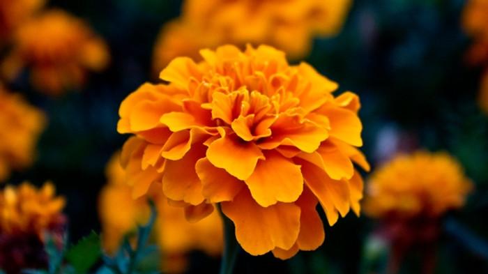 Marigold - Dark Orange OG