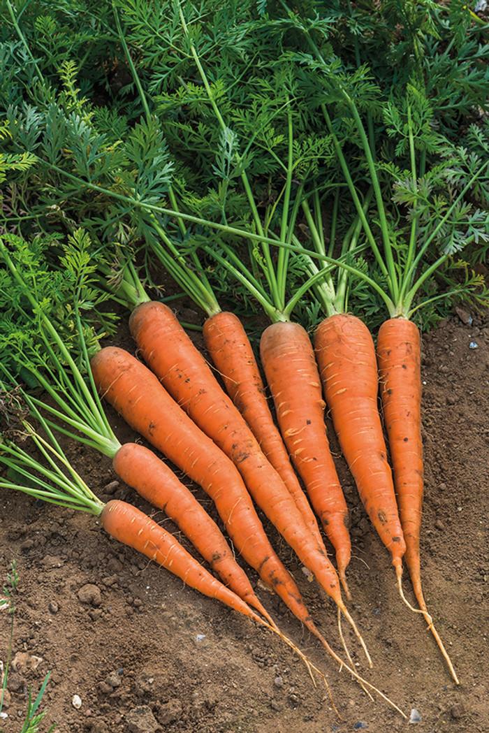 Carrots - Danver OG