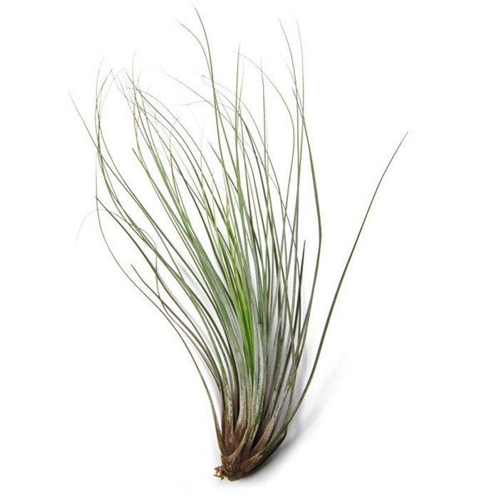 Tillandsia Air Plant - Juncea
