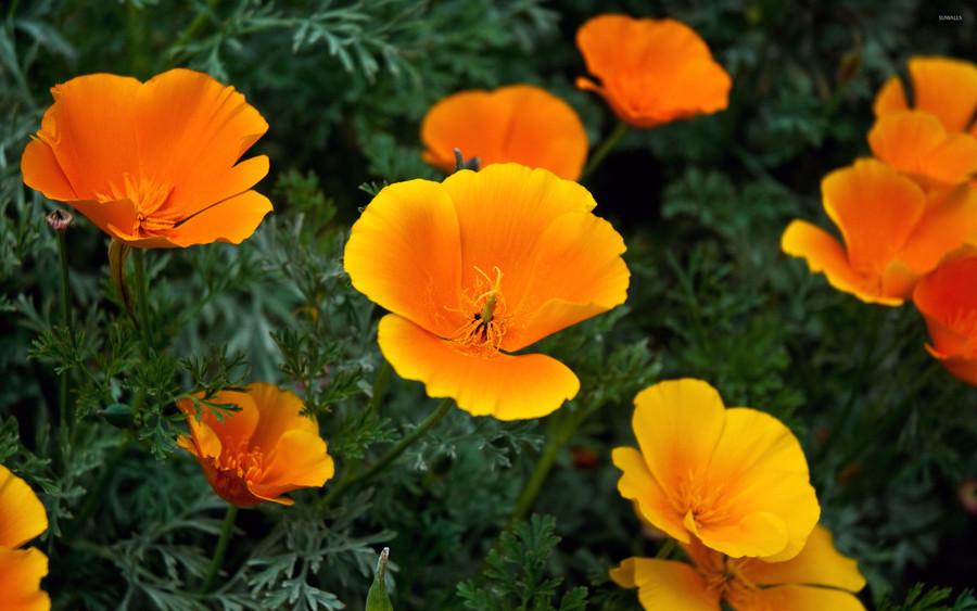 Poppy - California Orange OG
