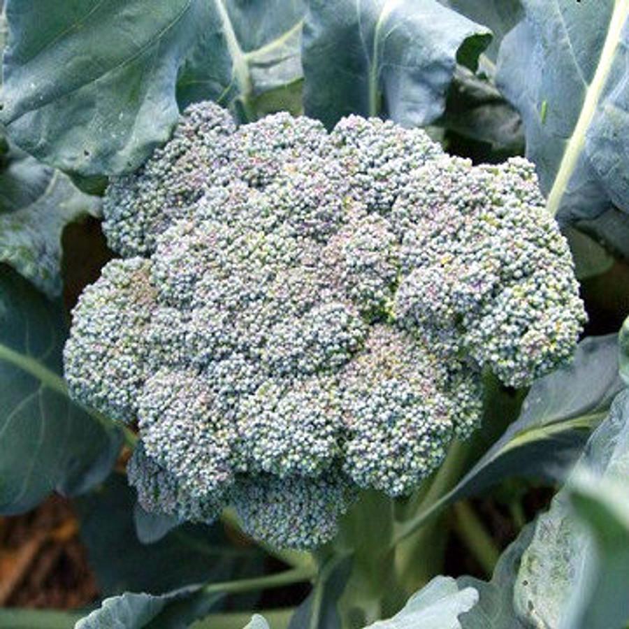 Broccoli- Solstice OG